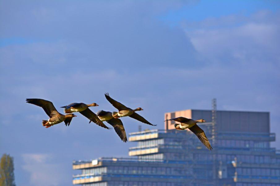 Divlje patke